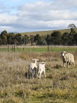 Sheep at Ginninderra. About 5,000 sheep currently live on the site.